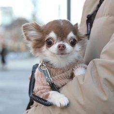 Cute Chihuahua, Chihuahua Puppies, Cute Animal Pictures, Love Pictures, I Love Dogs, Cute Dogs, Chi Dog, Pictures Of Chihuahuas, Chiwawa