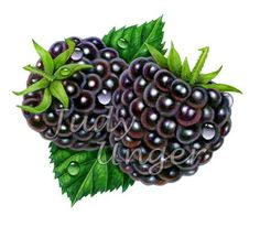 Blackberries Two by Judy Unger