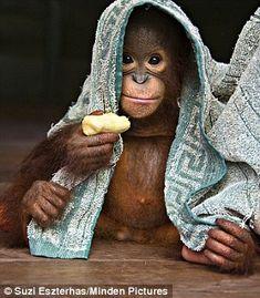 Orangutan (Pongo pygmaeus), Orangutan Care Center, Borneo, Indonesia