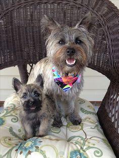 Baylee & Harper, Cairn Terriers