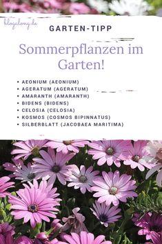 Garten-Tipp für Sommerpflanzen im Garten. Diese hitzebeständigen Pflanzen solltest du kennen! #garten #sommer #hitze #wärme #stauden #amaranth #celosia #kosmos #silberblatt #blogalong