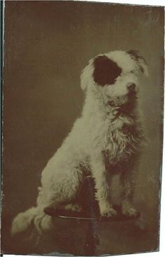 Photo of adorable white dog with black patch over his eye, sitting on round table. 1/6-plate tintype. c.1870. From bendale collection