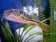 fresh water puffer fish | Picornot!