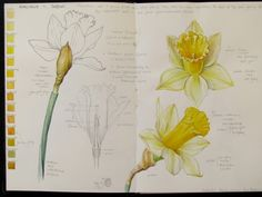 Sketch Book Botanical Sketches and Other Stories: Daffodil Days Kunstjournal Inspiration, Art Journal Inspiration, Botanical Drawings, Botanical Prints, Art And Illustration, Botanical Illustration, Daffodil Day, Daffodil Flowers, Illustration Botanique