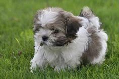 Havanese puppy. photo by April Pruzinsky