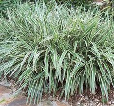 Image result for Variegated Flax Lily in rocks