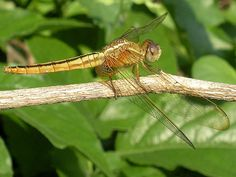 by Surajit Koley  Image Information : Most of the nature lovers today are using high-end to mid-range cameras. Mine is a 10MP, 5x compact. I thought why not try to capture a high resolution output from my old buddy that cost me a month's salary in 2009! The end result (RUDDY MARSH SKIMMER) is before you!  Species name : Crocothemis servilia, female  Wingspan : 31 to 37 mm (according to field guides)  Location : Nalikul (Hooghly District), West Bengal   Date : 2011/10/26