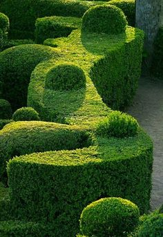 Boxwood hedge topiary forms afternoon light