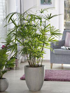 Palmier chinois sur http://www.detentejardin.com/plantes/fleurs-et-arbustes/4-plantes-dinterieur-special-amateurs-2933 #plantes_vertes