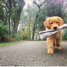 Golden Retriever puppy retrieving the newspaper😢 someone plzz get me 7 puppies😢😢😢 Animals And Pets, Baby Animals, Funny Animals, Cute Animals, Nature Animals, Wild Animals, I Love Dogs, Cute Dogs, Doge