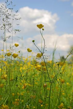 This is what we already have - lots of buttercups