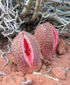 Hydnora africana, a plant native to southern Africa.