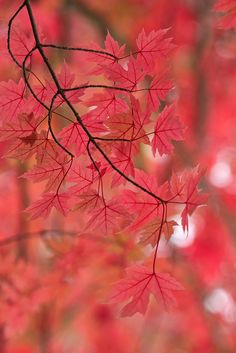 Fiery Autumn Leaves