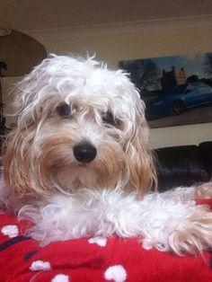Bella, our cavapoo ❤️