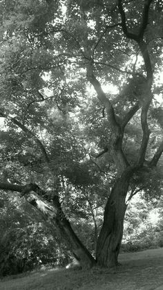 Black and white oak tree. Greenville, SC  by Derek Smith
