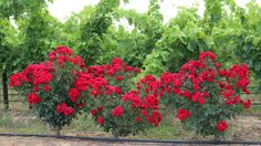 Red Roses at Viljoensdrift Wines