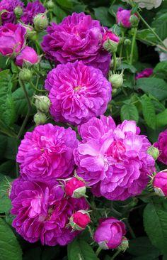 ~'Cardinal de Richelieu' Gallica rose
