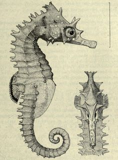 Hippocampus spinossimus - the Hedgehog seahorse    From: 'The fishes of the Indo-Australian Archipelago' Volume 4 by Max Wilhelm Carl Weber (1911)
