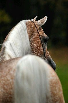fleabitten Arab Mare- I would Name her Freckles ;)