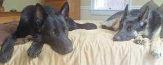 Synchronized sleeping Sheppies