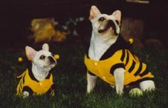 My Love Bugs- Champ and Sweet Pea the French Bulldogs ready for Halloween as bumble bees