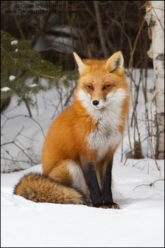 beautiful red fox in winter