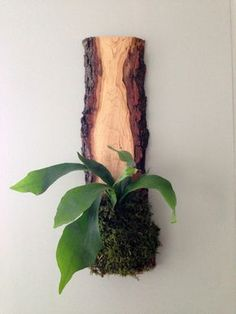 Each part of these lovely wall-hung planters are made with care and the highest quality ingredients. These live-edge hard wood slabs are hand mounted (with moss carefully woven in) with a living plant
