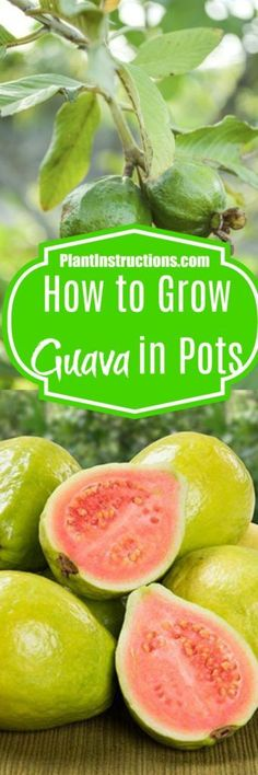 Learn how to grow guava fruit directly in pots or containers.