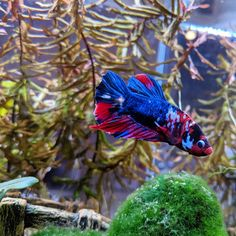 Knowing All Types Of Betta Fish - By Tail, Pattern And Color With Photo And Description - The betta fish is also called Siamese fighting fish is one of the popular fish are keeping by fish hobbies. Tropical Fish Aquarium, Fish Aquariums, Betta Fish Types, Rhetorical Question, Goldfish, Fresh Water, Bubbles, Ocean, Living Room