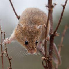 Vaivaishiiri / The harvest mouse (Micromys minutus)