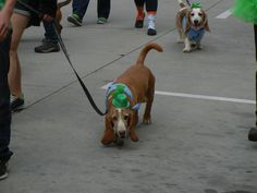 Saint Patrick's Day Parade in Salt Lake City, Utah 3/12/2016 Basset Hounds ~