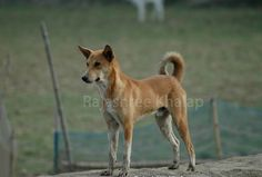 How would you recognize an INDog? Type + Location. Because every village dog is not an INDog. http://indianpariahdog.blogspot.in/2015/06/indogs-and-not-indogs-village-dogs-of.html