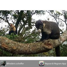 how lucky is @frederic.scheffer to capture in the same shot a white nose Coati and a white headed Capuchin monkey! Which of these two cuties do you like most? #repost #monteverde #cloudforest #costarica