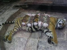 A tiger lost her cubs and became depressed, so the workers at the zoo dressed piglets up to replace the babies she lost.