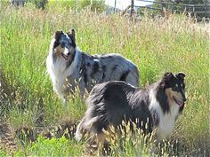 Handsome collies in a field. #collie