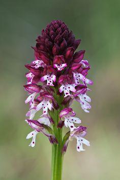 Orquídea ustulata                                                                                                                                                      Más