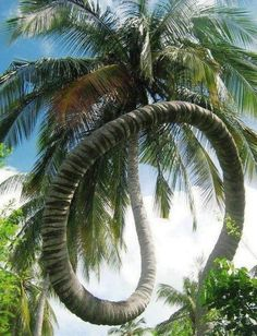 Coconut spiral tree . Amazing