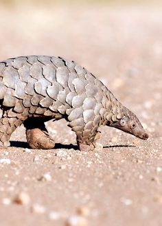 60 Pangolin Facts: Guide to All 8 Species (Sweet, Scaly, and Endangered) Indian Pangolin, Chinese Pangolin, Unique Animals, Animals Beautiful, Cute Animals, Long Tailed Pangolin, Dibujo
