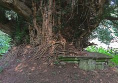 A seriously old Yew climbing over everything in it's way in the grave yard of the Norman Church at Elworthy, Somerset.