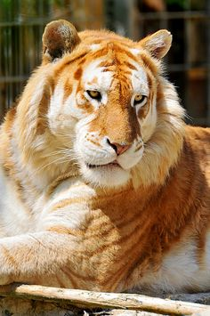 A golden tiger, golden tabby tiger or strawberry tiger is a tiger with a color variation caused by a recessive gene. The coloration is a result of captive breeding and does not occur in the wild. Majestic Animals, Rare Animals, Cute Baby Animals, Animals And Pets, Wild Animals, Strange Animals, Cutest Animals, Beautiful Cats, Animals Beautiful