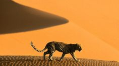 Tiger in African Desert