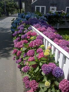 Is there anything better? White picket fence + hydrangeas = KABOOM!! on Martha's Vineyard- love the color graduation
