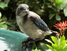 Western Scrub-Jay fledgling
