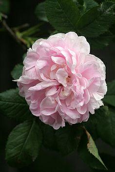 Rosa 'Great Maiden's Blush' AKA 'Cuisse de Nymphe' AKA 'Alba Incarnata' (origins unknown, before 1400)
