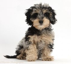 Cute tricolour merle daxie-doodle puppy, dougal, sitting, against white background Cute Animals Puppies, Cute Baby Animals, Cute Puppies, Cute Dogs, Funny Animals, Cute Animal Illustration, Cute Animal Drawings, Cute Animal Videos, Cute Animal Pictures