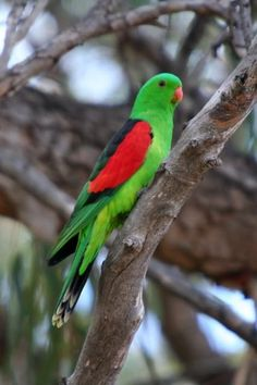 Birds Parrots Red-winged Parrot (male)
