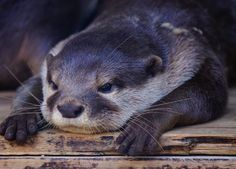 The beautiful, comical, very popular river otter Cute Funny Animals, Cute Baby Animals, Animals And Pets, Wild Animals, Otters Cute, Baby Otters, Baby Sloth, Scottish Fold, Otter Love