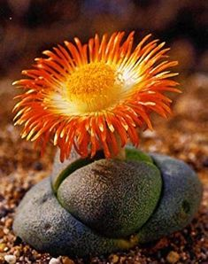Such a contrast in this Split-Rock: Pleiospilos nelii Growing Succulents From Seed, Flowering Succulents, Cacti And Succulents, Planting Succulents, Planting Flowers, Flora Flowers, Desert Flowers, Cactus Blossoms, Cactus Flower