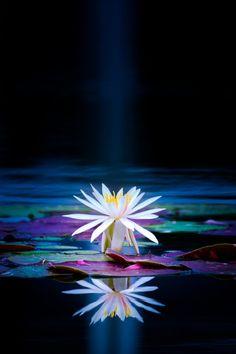 Lotus Flower 如蓮華在水
