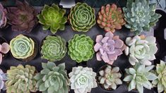 Succulent Plant You Choose 4 by SucculentOasis on Etsy